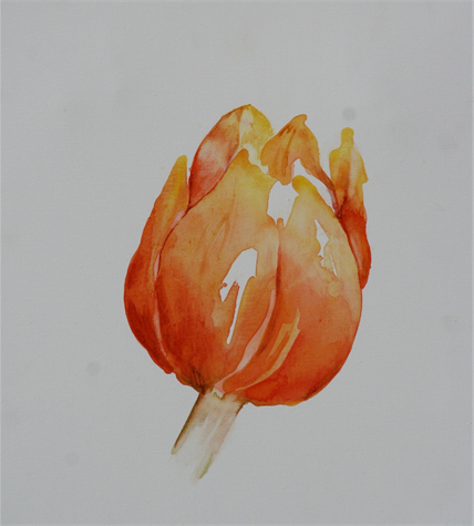 tulipan victoria